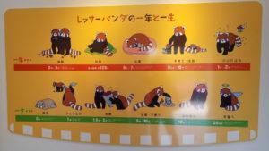 レッサーパンダの一年と一生